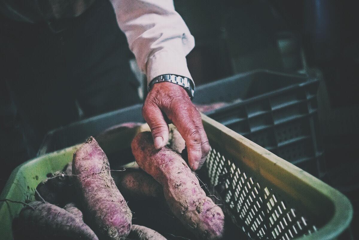 サツマイモを育てる農家の手