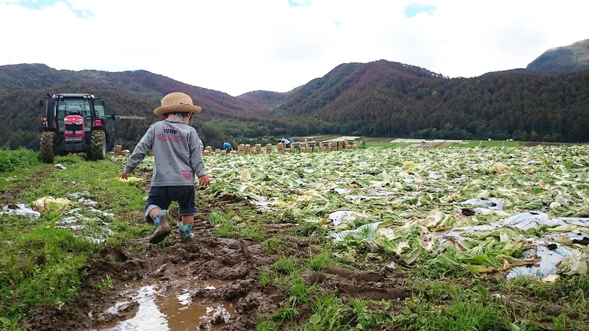 レタス畑を歩く子ども