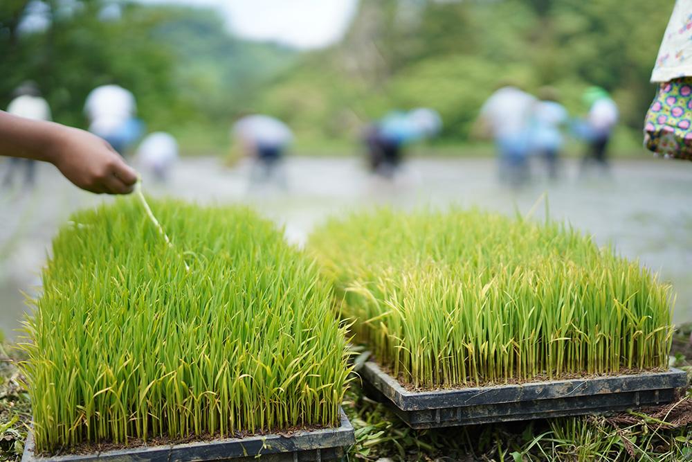 夫婦米田植え風景